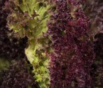 Lollo Rosso Lettuce
