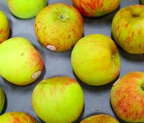 Gravenstein Apples