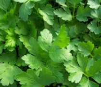 Fresh Italian Parsley
