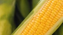 The Market Review - White & Yellow Corn